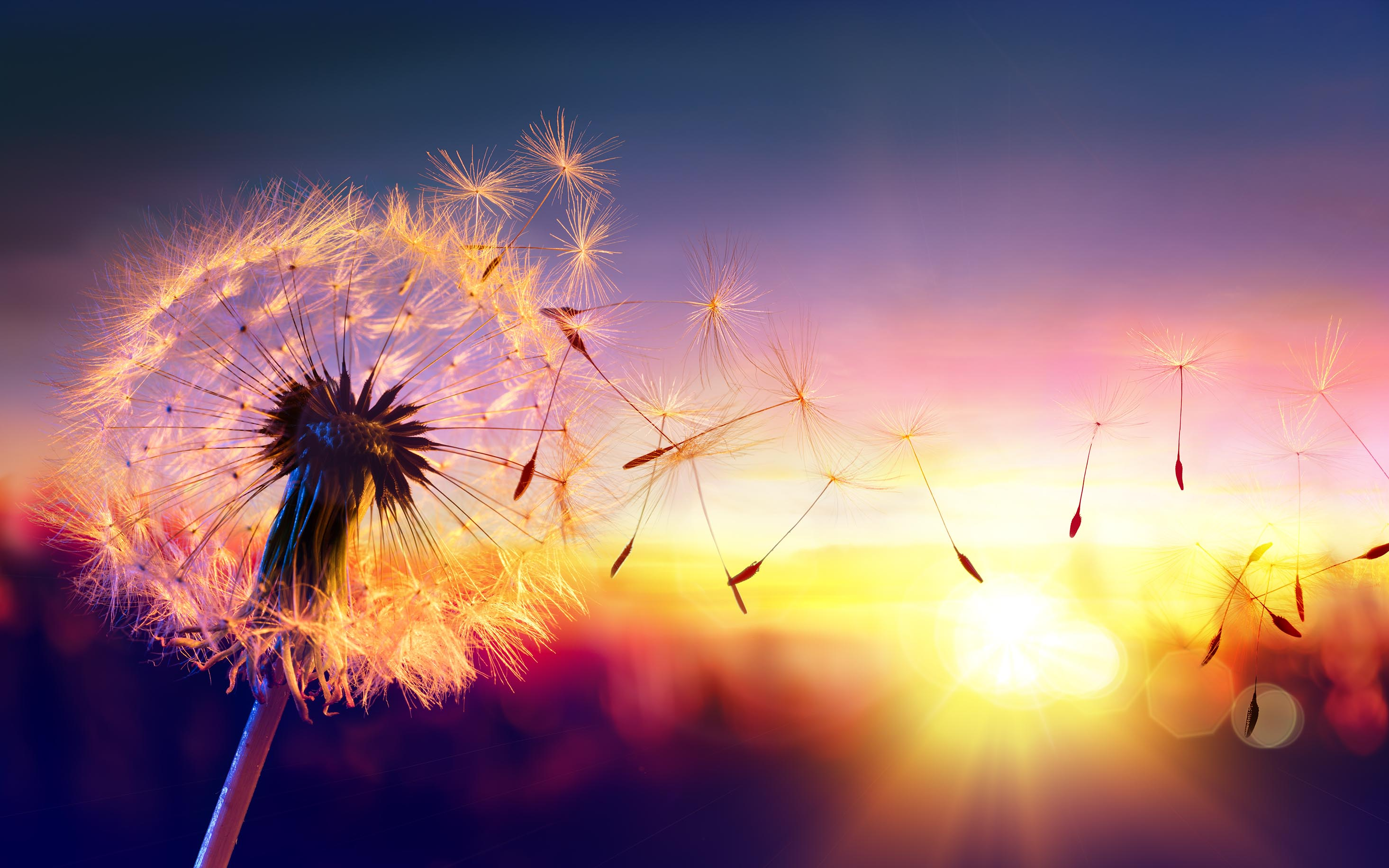 Canvas Print - Dandelion In Sunset