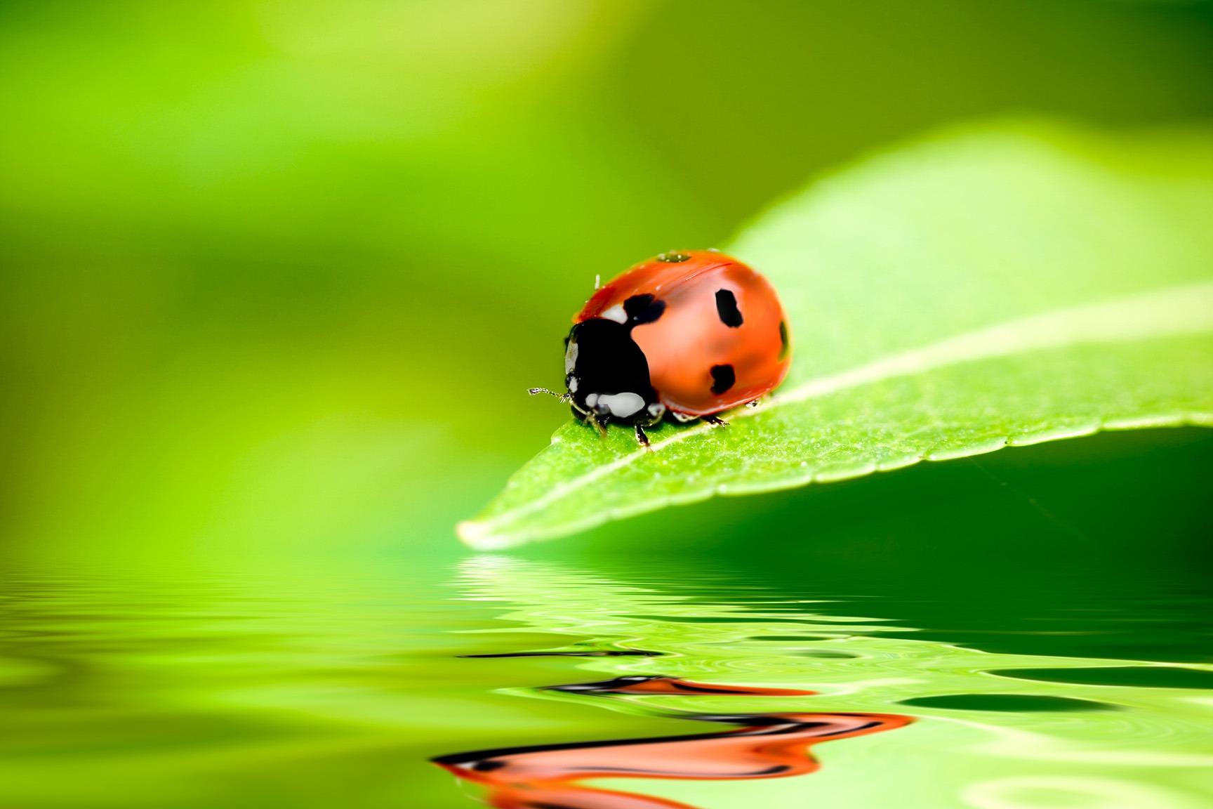 Canvas Print - Ladybug