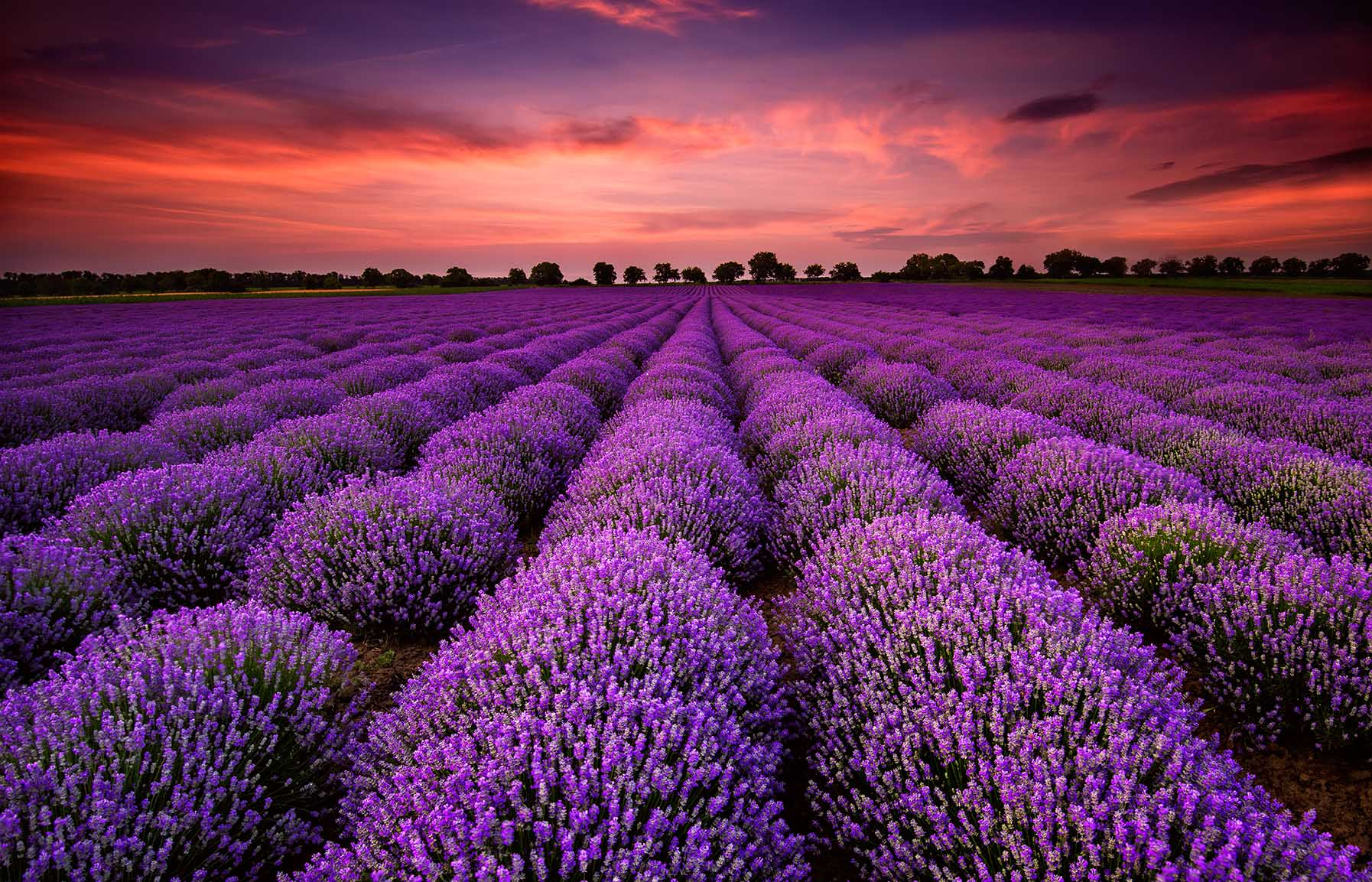 Canvas Prints - Lavender Field At Sunset